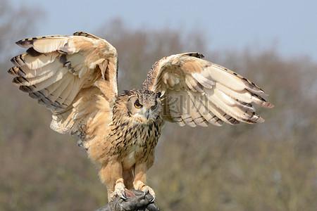 展翅高飞的猫头鹰图片