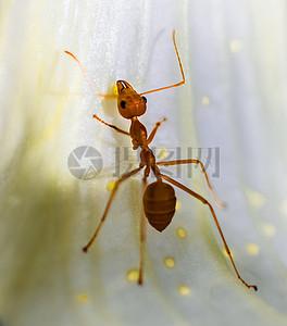 红蚂蚁图片