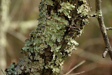 脱落的小树皮图片