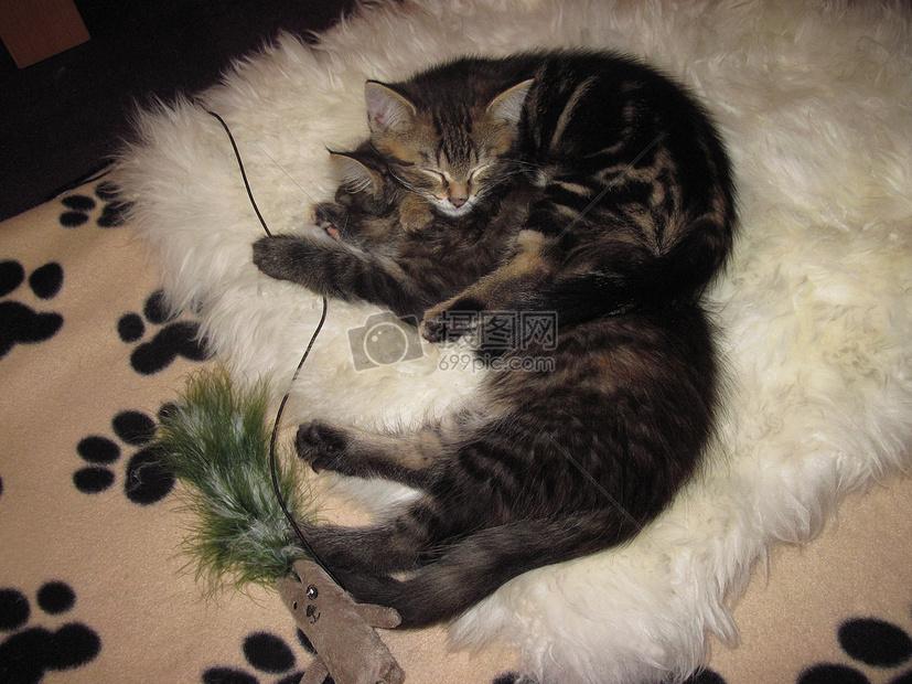 标签: 睡眠趴着毛茸茸毛皮小猫懒散可爱躺着蓝色的小猫咪图片蓝色的