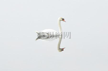 美丽的白色天鹅图片