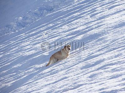 雪地里的拉布拉多图片