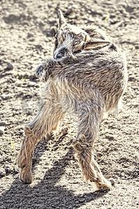 爵着屁股的小山羊图片