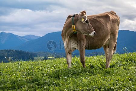 在草地上回头的牛儿图片