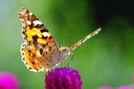 停在花朵上的蝴蝶图片