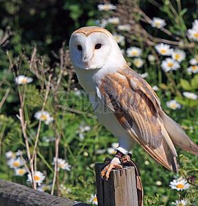 木桩上的谷仓猫头鹰图片