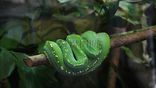 树干上的青蛇图片