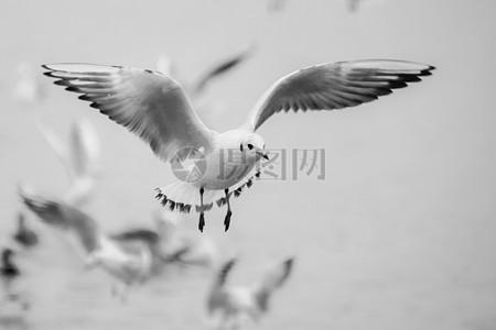 准备着陆的海鸥图片