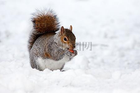 在雪地里进食的松鼠高清图片