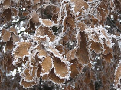树枝上的霜花图片