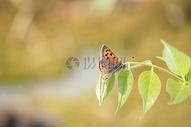 绿叶下的蝴蝶图片