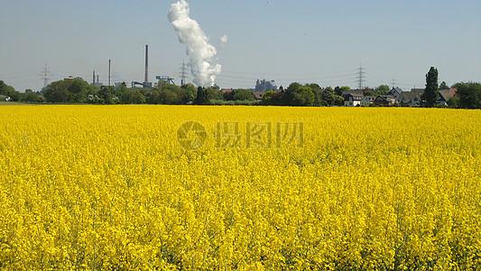 蓝天下的油菜花田图片