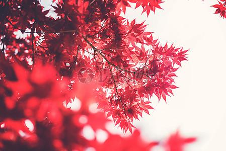 红红的枫树叶子图片