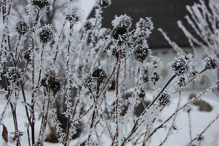 霜花覆盖的植物图片