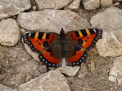 一只美艳的蝴蝶图片