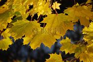 秋天里的树叶图片