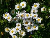 阳光下的小雏菊图片