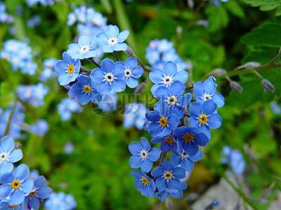 绿丛中的小蓝花图片