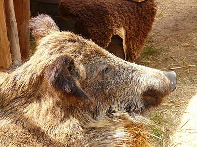 阳光下休息的公猪图片