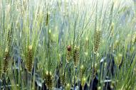 未成熟的麦子图片
