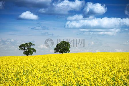 蓝天下的油菜花图片