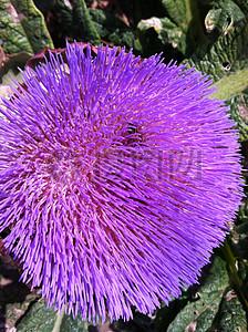 美丽的紫色菊芋图片
