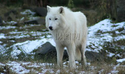 冬天草地上的白狼图片