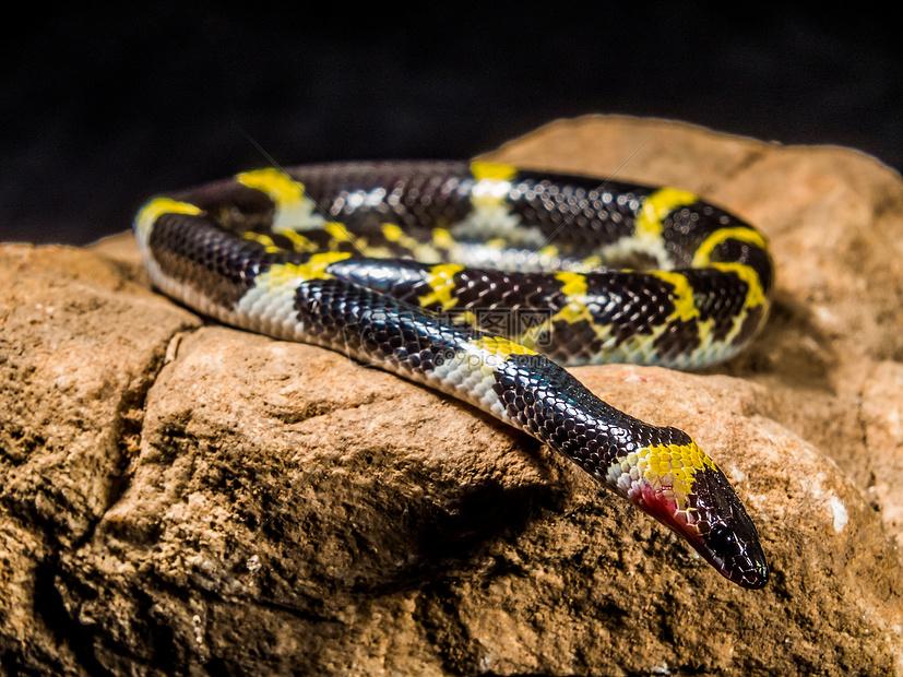 标签: 黄色黑黄色蛇石头无毒爬行动物害怕年轻的蛇爬行中的大黑蛇