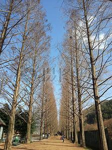 一排排的红杉树图片
