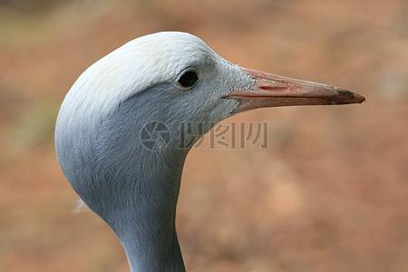 蓝鹤高清图片