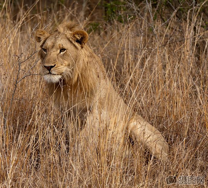 一只眺望远方的狮子图片