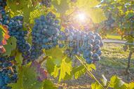 新鲜成熟的葡萄图片