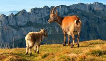 高山上的山羊图片