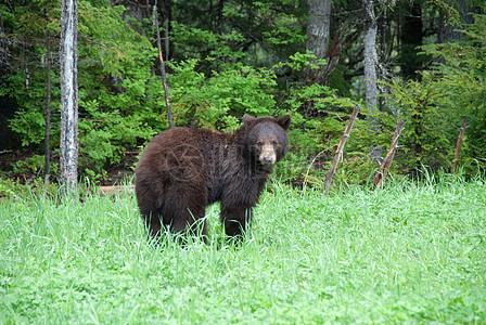一只回头的黑熊图片
