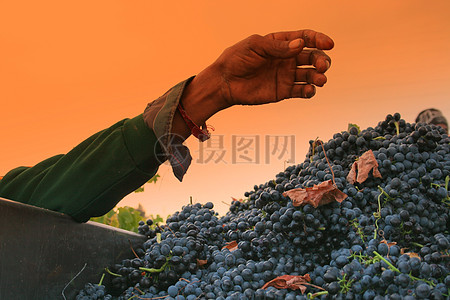 新鲜多汁的葡萄图片