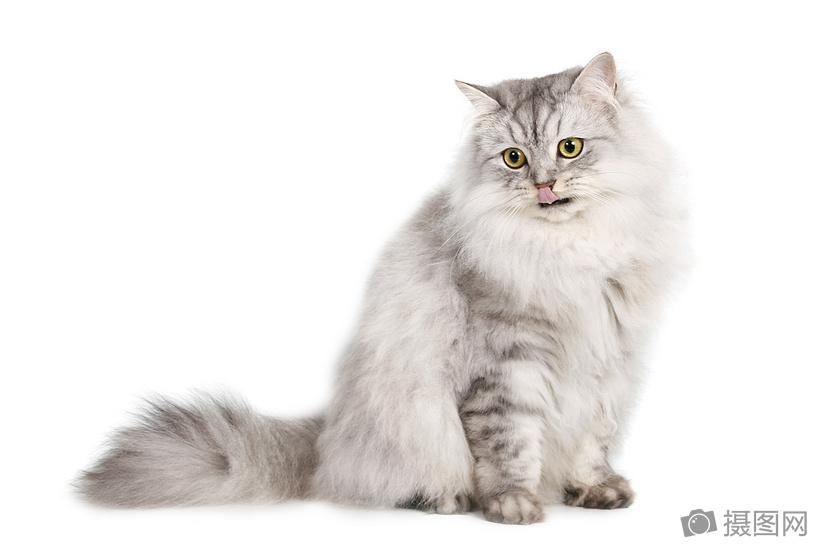 白底高贵的家猫图片