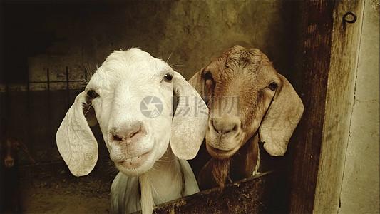 两只小长耳羊图片