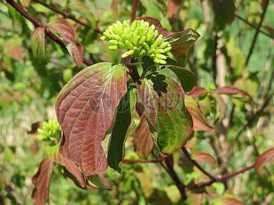 一株绿色山茱萸图片