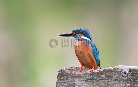 一只蓝鸟站在木板上图片