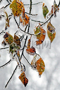 霜花覆盖的黄色树叶图片