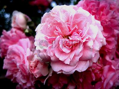 鲜艳的粉色鲜花图片