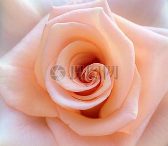 红色玫瑰特写图片