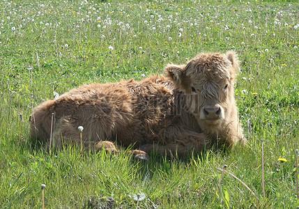 草地上的黄牛图片