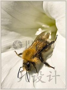 >【jpg】蜂蜜昆虫蜜蜂夏季花蜜蜂屏幕授粉吃饭v蜂蜜鲨鱼上海花园动物关闭图片