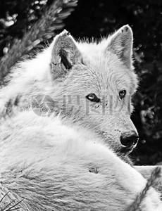 忧伤的白狼图片
