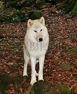 树林里的白狼图片