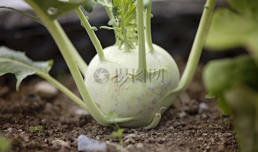 菜园里成长的大头菜图片