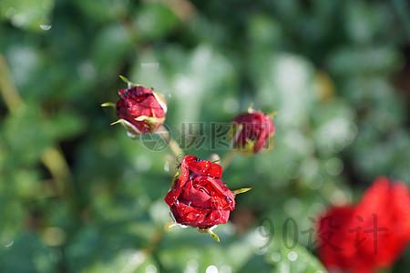 图片 底纹边框 > 【jpg】 玫瑰  玫瑰 花 自然 厂 印刷 风景 手机端