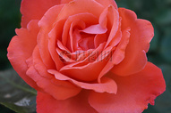 一朵鲜艳的橙色玫瑰图片