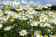 野外山坡上盛开的小野菊图片